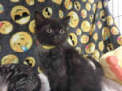 Adopt TIMON a All Black Domestic Shorthair / Mixed (short coat) cat in Van Nuys