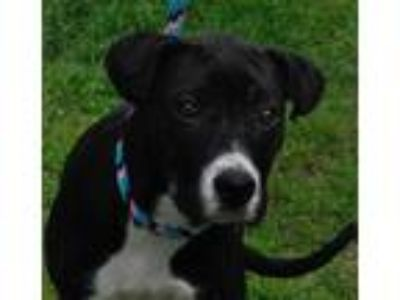 Adopt Rio meet 5/24 a Black - with White Labrador Retriever / Border Collie /