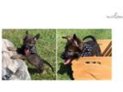 AKC German Shepherd PENDING