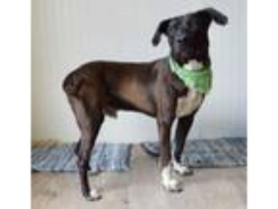 Adopt Carl a Black American Pit Bull Terrier / Labrador Retriever / Mixed dog in
