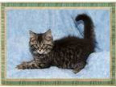 Adopt Aspen a Domestic Medium Hair