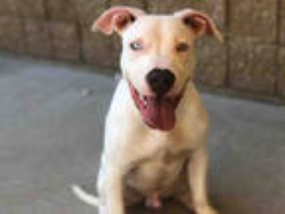 Adopt CASPER a White American Pit Bull Terrier / Mixed dog in Tulsa