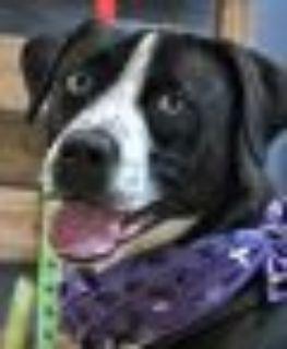 Brandy Black Labrador Retriever - Collie Dog