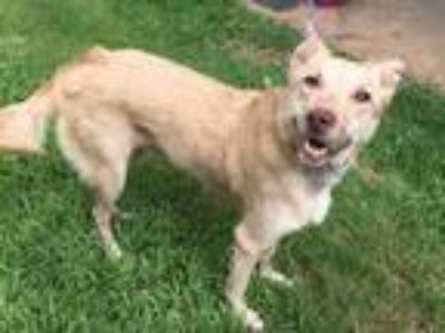 Adopt Athena a Tan/Yellow/Fawn Retriever (Unknown Type) / Labrador Retriever /