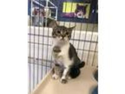 Adopt Katy Purry a Gray or Blue Domestic Shorthair / Domestic Shorthair / Mixed