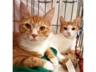 Adopt Ginger & Rodger a Orange or Red (Mostly) Domestic Shorthair (short coat)