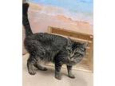 Adopt LINDSEY a All Black Domestic Shorthair / Domestic Shorthair / Mixed cat in