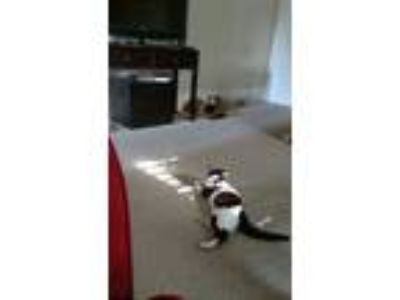 Adopt Bellanca a Black & White or Tuxedo American Shorthair / Mixed cat in