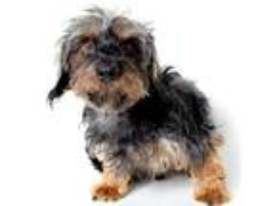 Adopt Rupert a Black - with Tan, Yellow or Fawn Dachshund / Mixed dog in Los