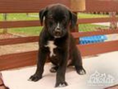 Adopt GERALD a Black - with White Labrador Retriever / Border Collie / Mixed dog