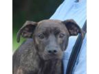 Adopt Tyra Banks a Brindle Labrador Retriever / Dutch Shepherd / Mixed dog in