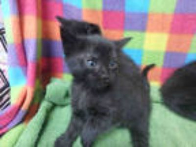 Adopt PHOENIX a All Black Domestic Shorthair / Mixed (short coat) cat in