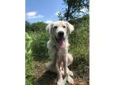 Adopt Turk a White Great Pyrenees / Mixed dog in Statewide, TX (25354157)