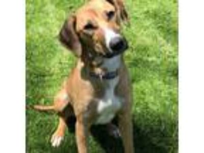 Adopt Marley a Tan/Yellow/Fawn - with White Labrador Retriever / Mixed Breed