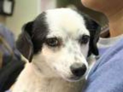 Adopt MISTY a White - with Black Jack Russell Terrier / Mixed dog in Ojai