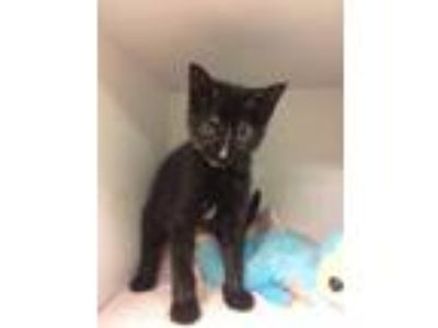 Adopt Haze a All Black Domestic Shorthair / Domestic Shorthair / Mixed cat in