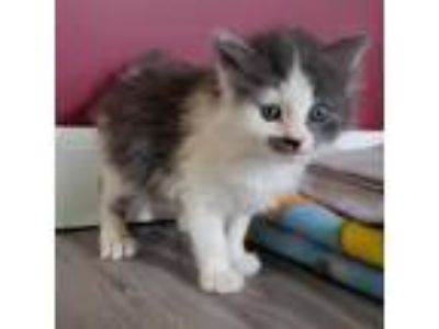 Adopt Lady Adelaide a Gray or Blue Domestic Shorthair cat in East Smithfield