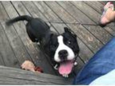 Adopt Serenity a Black - with White Boston Terrier / Staffordshire Bull Terrier