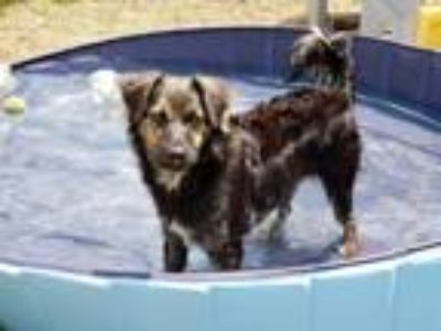 Adopt DARBY a Border Collie