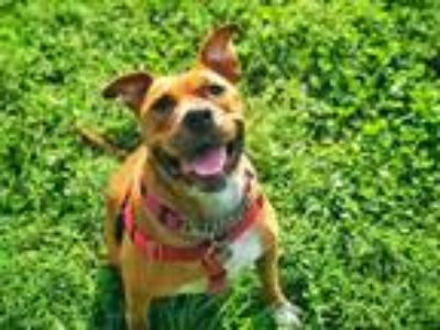 Adopt Athea a Pit Bull Terrier / Boxer / Mixed dog in St. Louis, MO (25921355)