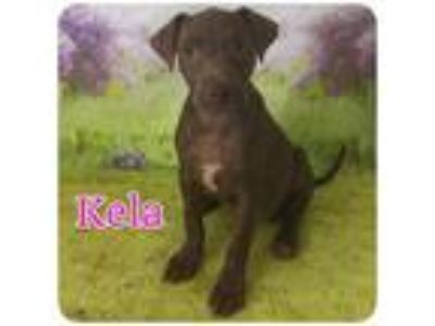 Adopt Kela a Brown/Chocolate - with White Pit Bull Terrier / Mixed Breed