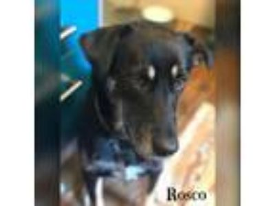 Adopt Roscoe a Black - with Tan, Yellow or Fawn Shepherd (Unknown Type) / Mixed