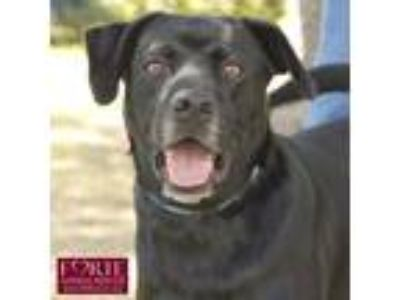 Adopt Jack Black a Labrador Retriever