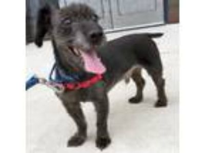 Adopt Louie a Yorkshire Terrier, Poodle