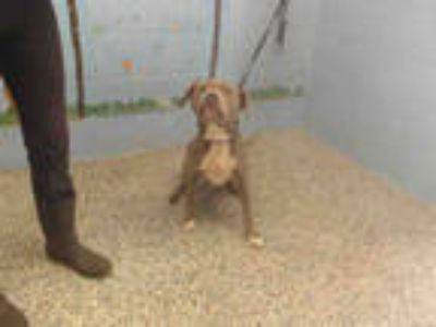 Adopt ROXY a Gray/Silver/Salt & Pepper - with White American Pit Bull Terrier /