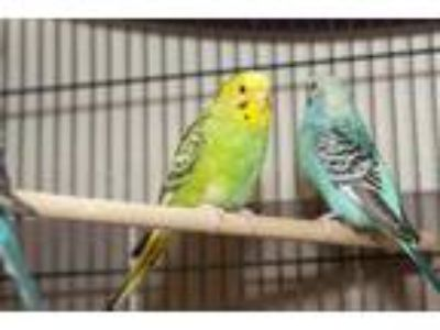 Adopt Sunshine a Yellow Parakeet - Other / Mixed bird in Arlington