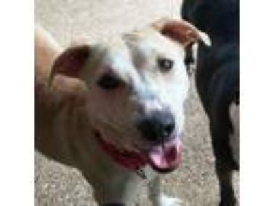 Adopt Gianna a Tan/Yellow/Fawn Labrador Retriever / Mixed dog in Dallas