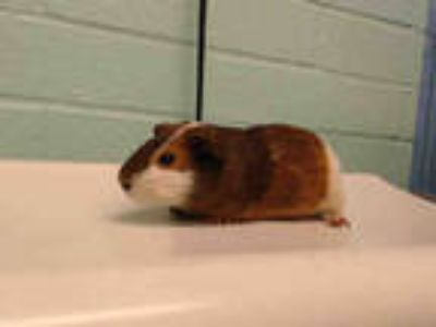 Adopt a Black Guinea Pig / Mixed small animal in Gardena, CA (25556771)