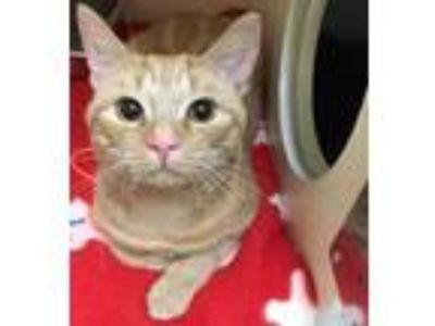 Adopt Simba a Orange or Red Domestic Shorthair / Domestic Shorthair / Mixed cat