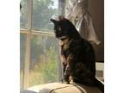 Adopt Gwen a Tortoiseshell Domestic Shorthair (short coat) cat in Los Angeles