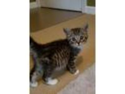 Adopt Erick (Snickers) a Domestic Short Hair