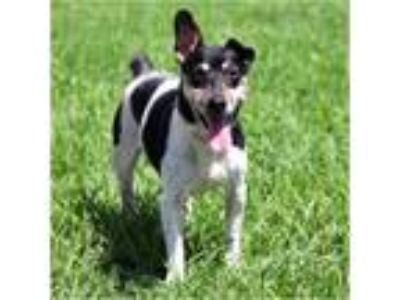 Adopt Connie a White - with Brown or Chocolate Parson Russell Terrier / Mixed