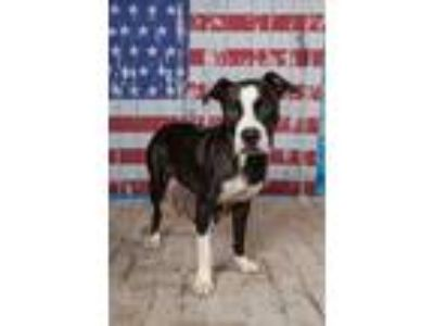 Adopt ALLY $30 Adoption Fee a Boxer