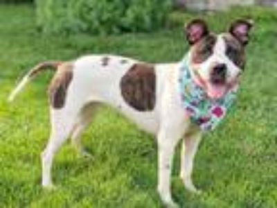 Adopt Whitney a Pit Bull Terrier