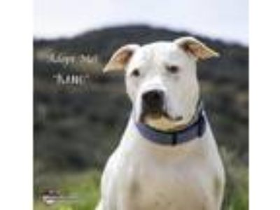Adopt Kano a White Dogo Argentino / Mixed dog in Acton, CA (25056384)