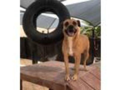Adopt Lucey a Shepherd, Labrador Retriever