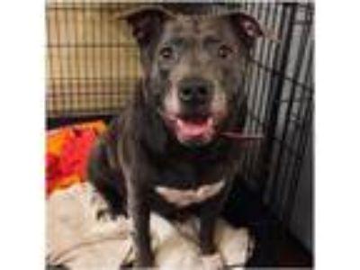 Adopt Emmy a Labrador Retriever, American Staffordshire Terrier