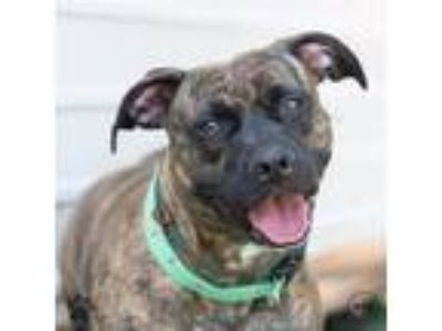 Adopt Sookie a American Staffordshire Terrier / Mixed dog in Richmond