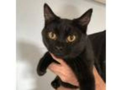 Adopt Catsanova a Black (Mostly) Domestic Shorthair / Mixed (short coat) cat in