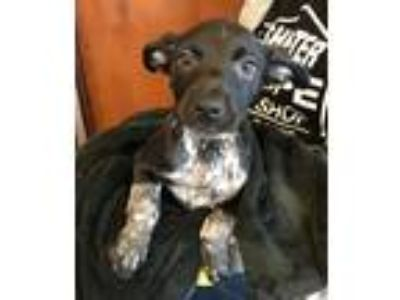 Adopt Tegan a Black - with White Labrador Retriever / Border Collie / Mixed dog