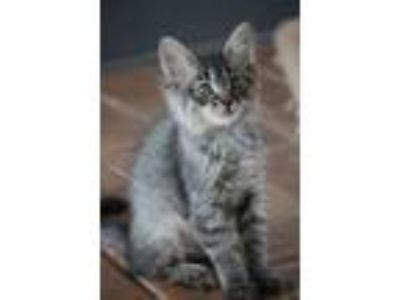 Adopt Graceful Grey Cats a Domestic Medium Hair