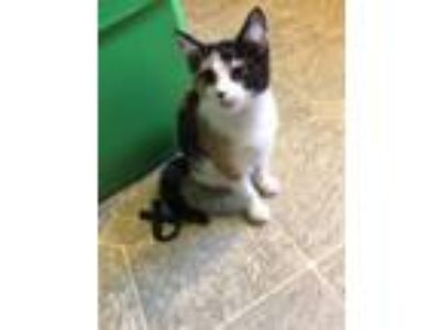 Adopt Charlotte a Calico, Domestic Short Hair