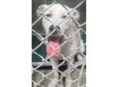 Adopt GP a Great Pyrenees / Mixed dog in LAFAYETTE, LA (25549747)