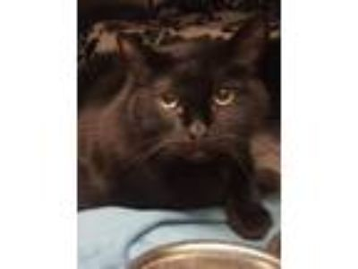 Adopt Baby Girl a All Black Domestic Shorthair / Mixed (short coat) cat in St.