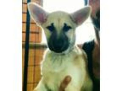 Adopt Miley a German Shepherd Dog