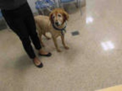 Adopt HERO a Brown/Chocolate Golden Retriever / Mixed dog in Doral